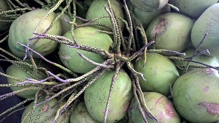 dừa xiêm xanh bến tre