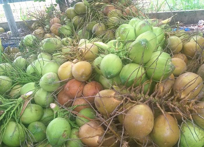 Dừa trái để gọt vỏ kim cương xuất khẩu