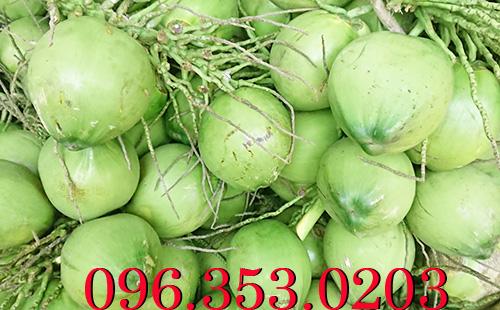 Chuyên cung cấp dừa tươi giá sỉ - mua dừa xiêm xanh tại vườn